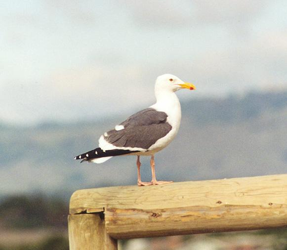 For Martin - Western Gull (Larus occidentalis); Image ONLY
