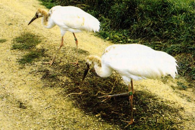 Bird from Korea - Siberian White Cranes [시베리아흰두루미]; Image ONLY