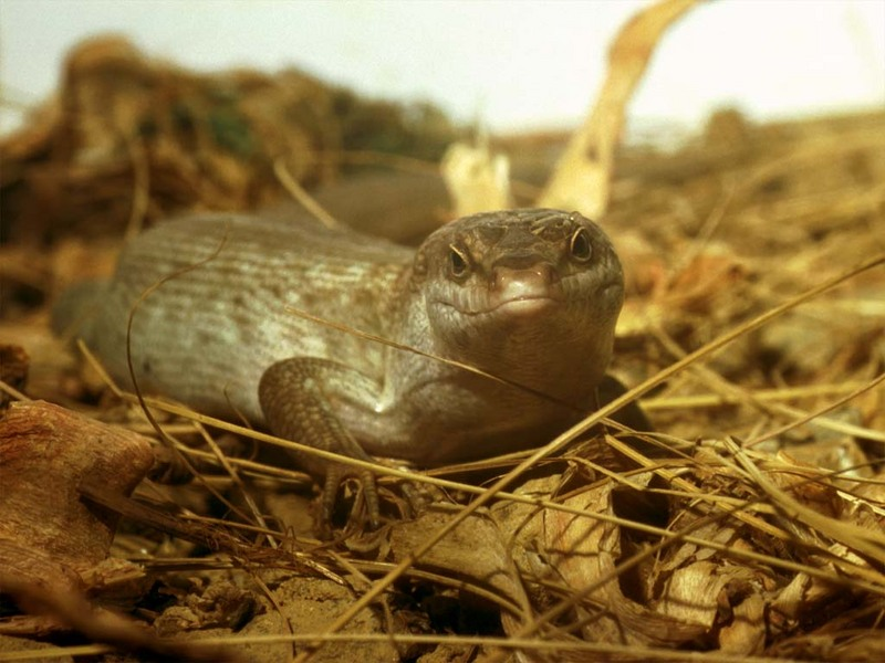 Rare Reptiles - Telfair's Skink; DISPLAY FULL IMAGE.