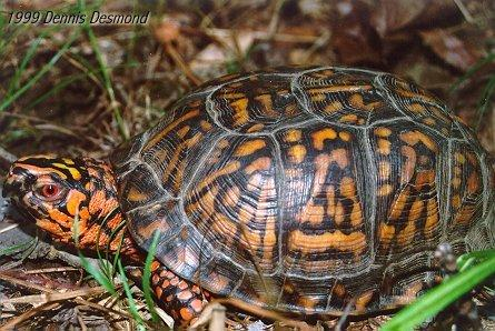 E Box Turtle; Image ONLY