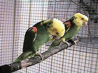 Double yellow head amazons and their babies - tresmarias146.jpg; Image ONLY
