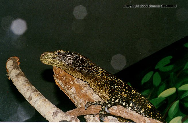 Nile Monitor; Image ONLY