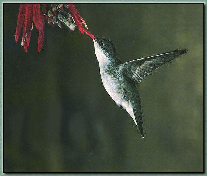 Hummingbird - Violet-crowned; Image ONLY