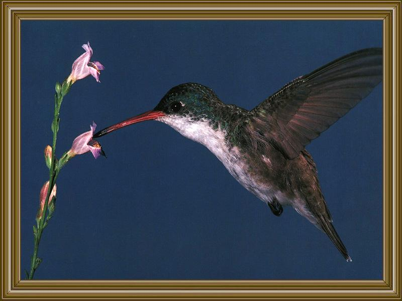 Violet-crowned Hummingbird (6); Image ONLY
