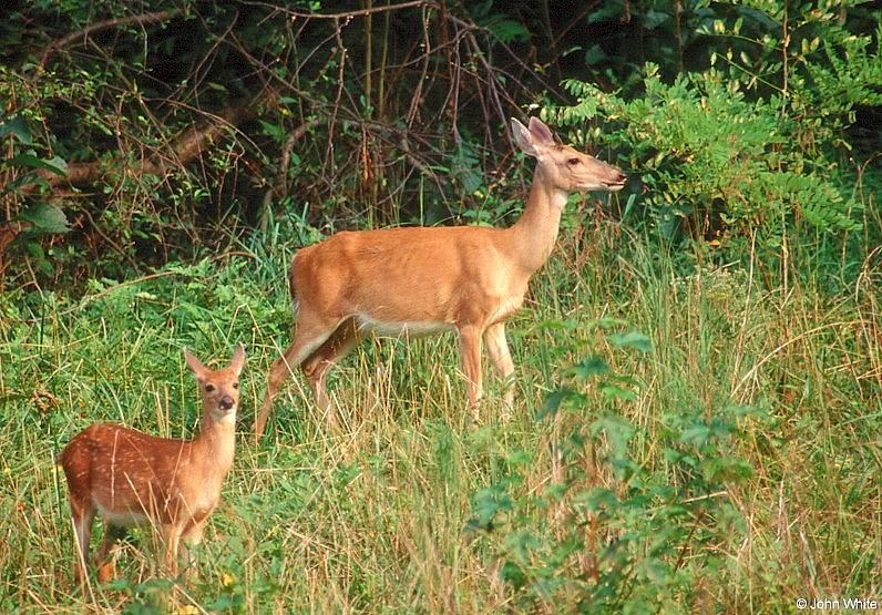 White-tailed Deer (Doe & Fawn); DISPLAY FULL IMAGE.