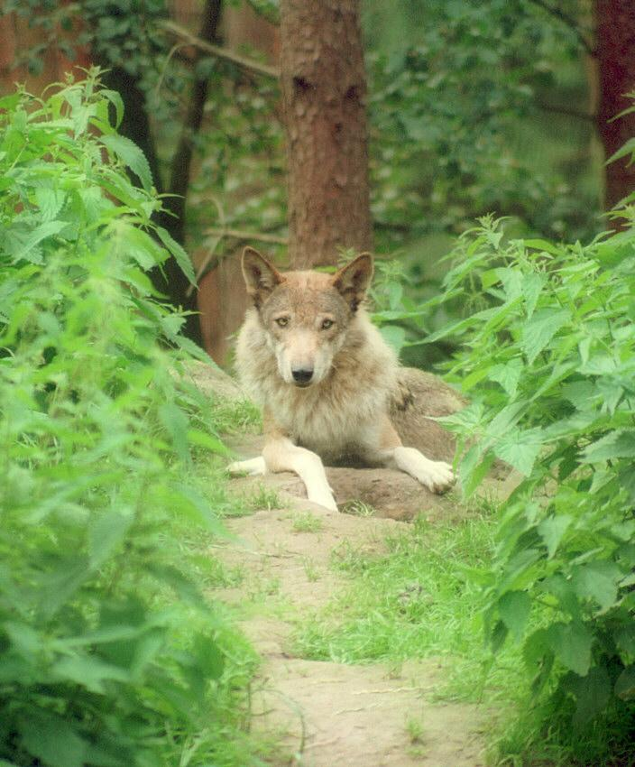 Candid woof in Schwarze Berge Animal Park - Wolf in the hideout; Image ONLY