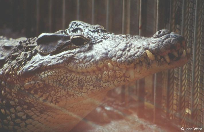 Cuban croc #1; Image ONLY