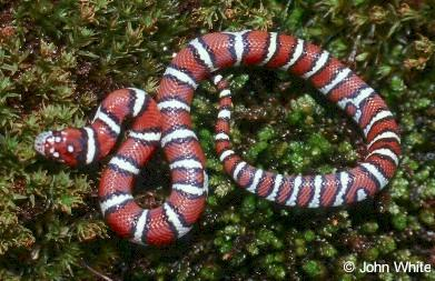 Coastal Plains Milk Snake  (L. t. triangulum x  L. t. elapsoides) #2; Image ONLY
