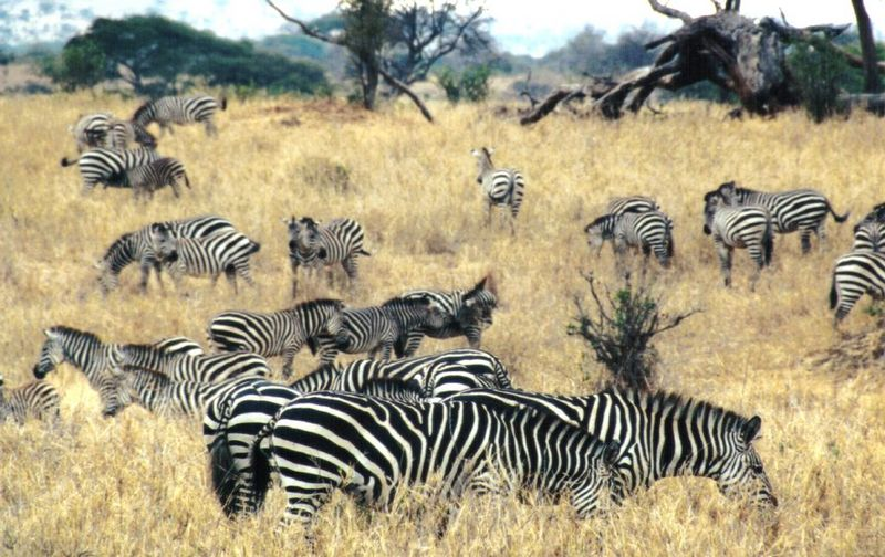 Re: Zebra pics - Plains Zebras; DISPLAY FULL IMAGE.