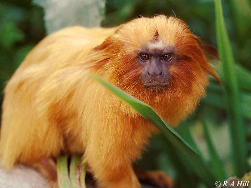 Golden Lion Tamarin; DISPLAY FULL IMAGE.