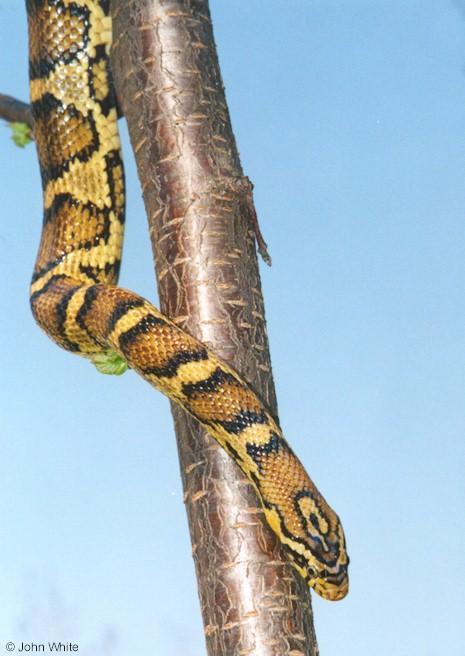 Jungle Corn Snake Jungle Corn Snake Cal King x