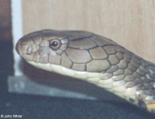 King Cobra (Ophiophagus hannah) #1; Image ONLY