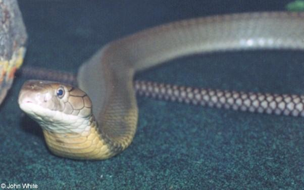 King Cobra (Ophiophagus hannah) #2; Image ONLY