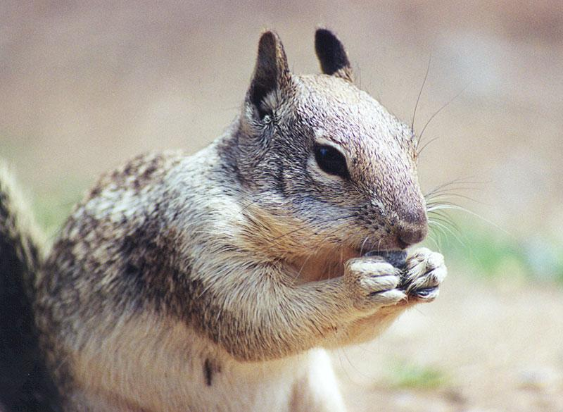 ground squirrel 109k jpg; Image ONLY