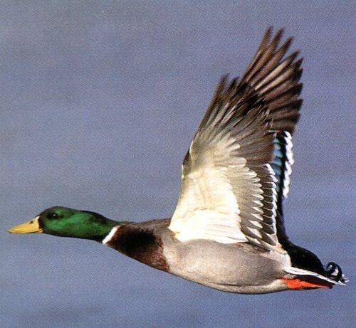 Re Looking For Flying Ducks Mallard Duck Jpg