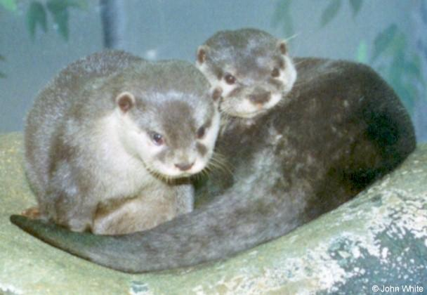 Oriental Small-clawed Otter (Amblonyx cinerea); Image ONLY
