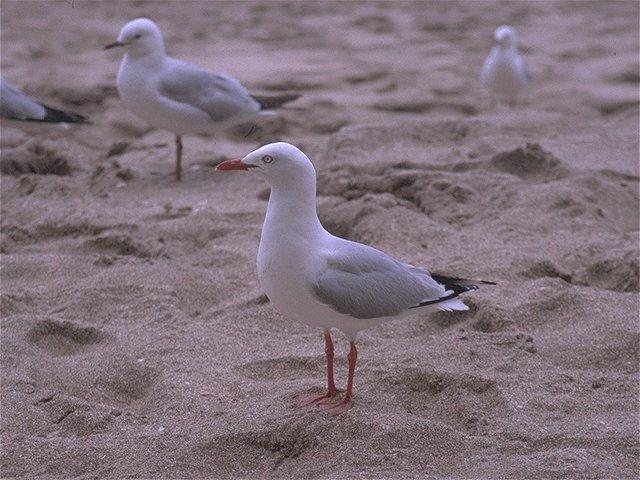 Re: Looking for bird pix! - roodsnavelmeeuw.jpg -- Red-billed Gull; Image ONLY