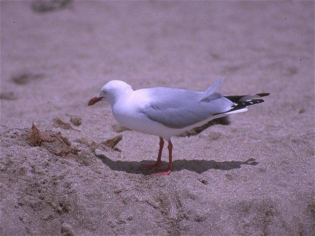 Re: Looking for bird pix! - roodsnavelmeeuw2.jpg -- Red-billed Gull; Image ONLY