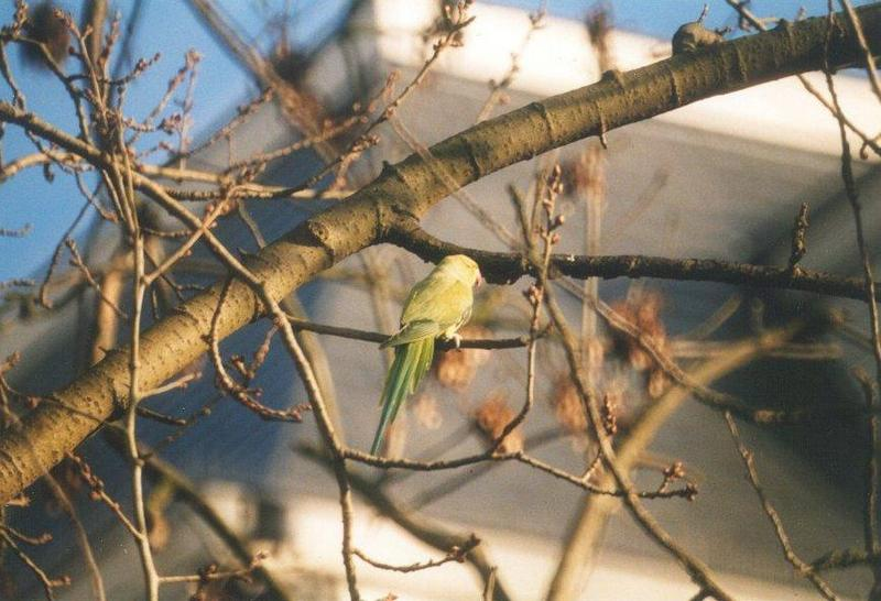 Birds from the Netherlands - rose-ringed_parakeet1.jpg; DISPLAY FULL IMAGE.