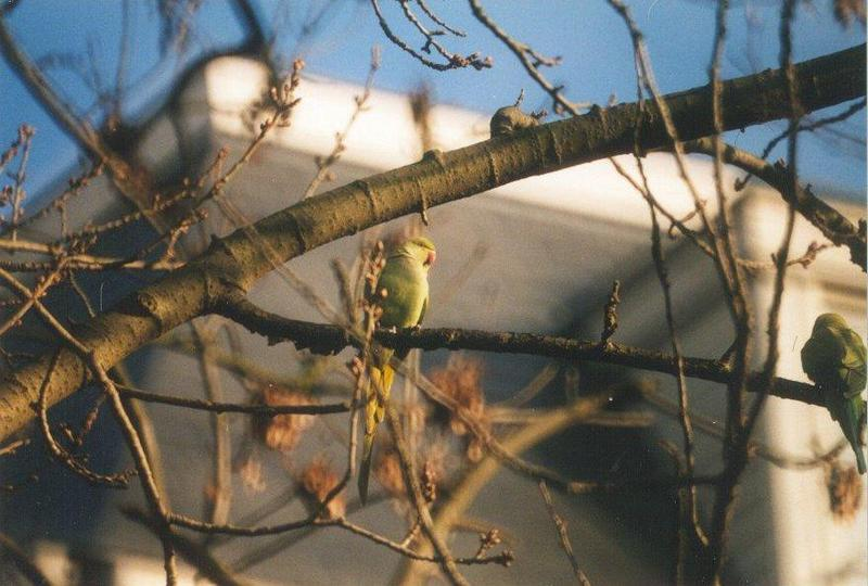 Birds from the Netherlands - rose-ringed_parakeet2.jpg; DISPLAY FULL IMAGE.