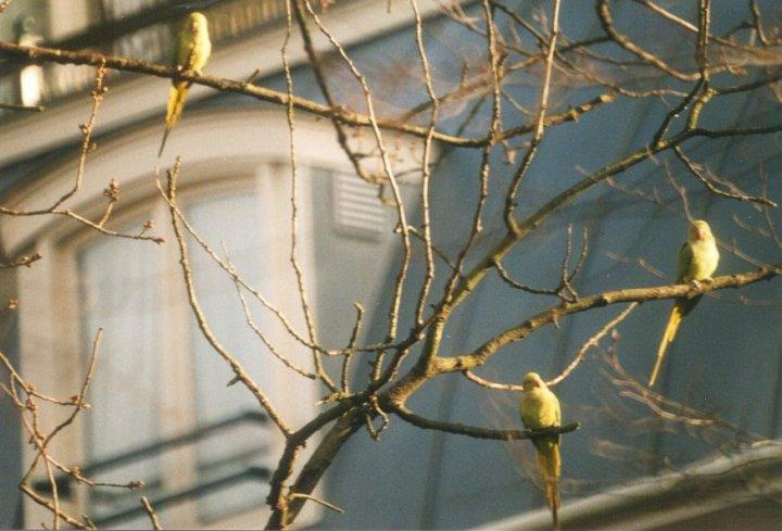 Birds from the Netherlands - rose-ringed_parakeets1.jpg; Image ONLY