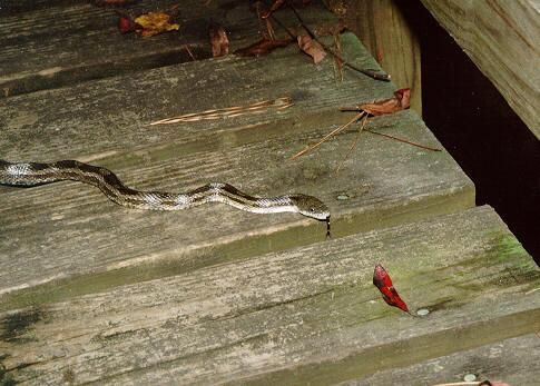Snake on boardwalk - Congaree Swamp - Columbia, SC - snake01.jpg; Image ONLY