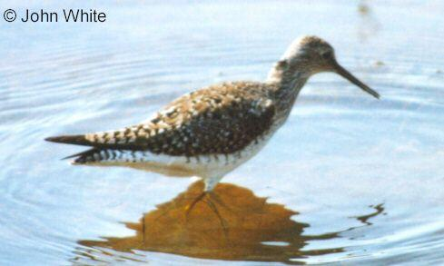 Unknown (to me) bird Species --> Lesser Yellowlegs; Image ONLY