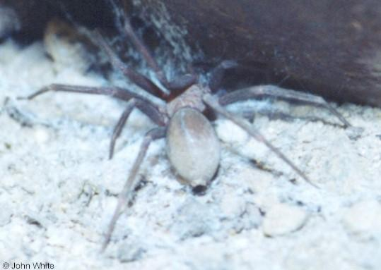 Violin Spider - A.K.A. Brown Recluse Spider (Loxosceles reclusa); Image ONLY