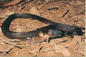 Australian Easton Taipan Snakes jpg; Image ONLY