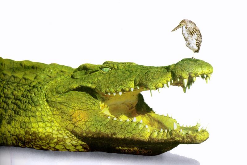 Egyptian plover bird and crocodile - photo#9
