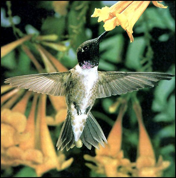 Hummingbird - Black-chinned Hummingbird 31; Image ONLY