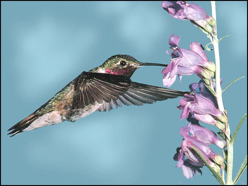 Hummingbird - Broad-tailed Hummingbird 22; Image ONLY