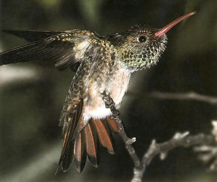 Hummingbird - Buff-bellied Hummingbird 11; Image ONLY
