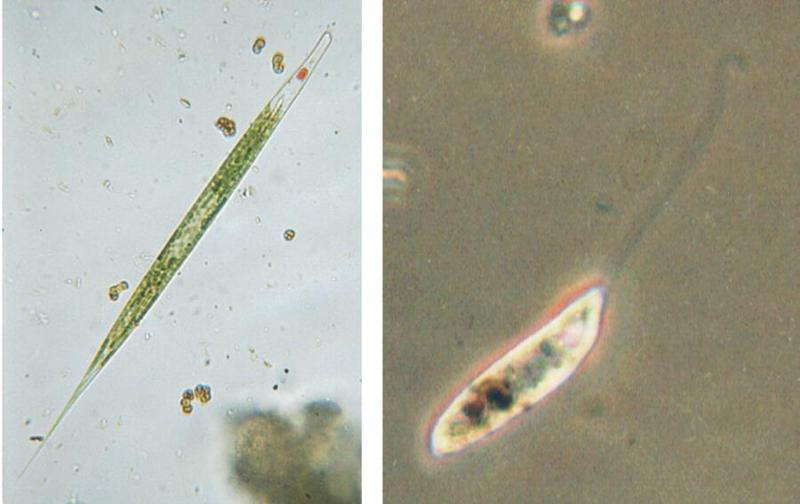 PING MacTrix - Protozoa series - new scans, #4 - Phacus oscillans & friends; DISPLAY FULL IMAGE.