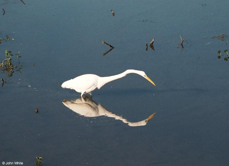 Great Egret Hunting; Image ONLY