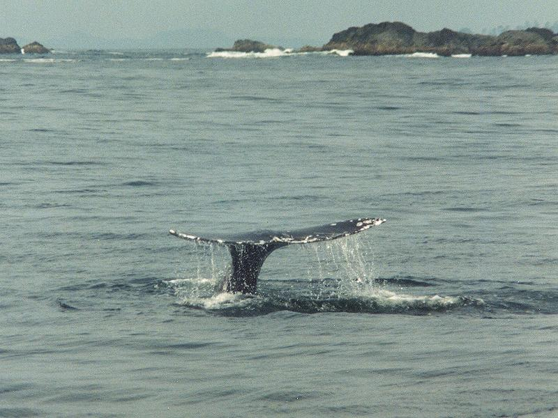 Grey Whale 3 Fluke-by Willy Jorgensen.jpg