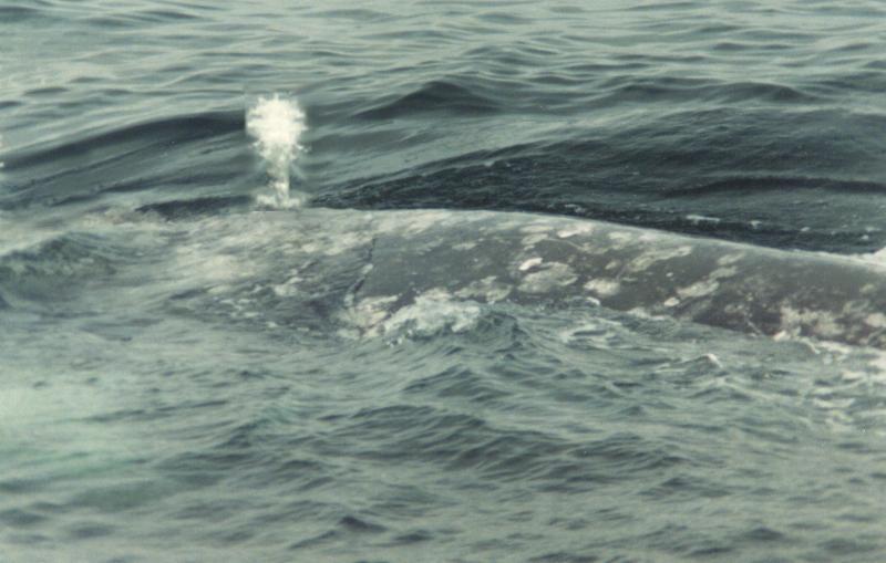 Grey Whale Back-by Willy Jorgensen.jpg