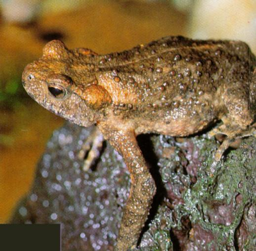 Korean Amphibian: Water Toad J01 - on rock - closeup (물두꺼비); Image ONLY