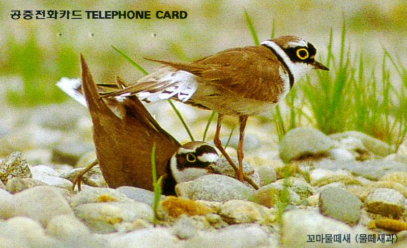 Korean Bird - Little Ringed Plover (J01); DISPLAY FULL IMAGE.