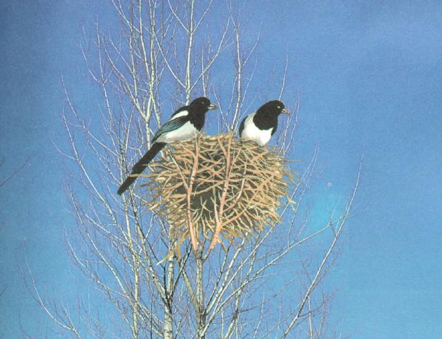 Korean Bird - Black-billed Magpie J01 - pair on nest (Painting); Image ONLY