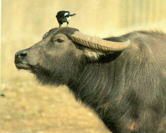 Korean Bird: Black-billed Magpie J03 - on Cape Buffalo's head; Image ONLY