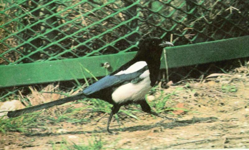 Korean Bird: Black-billed Magpie J06 - walking on the ground