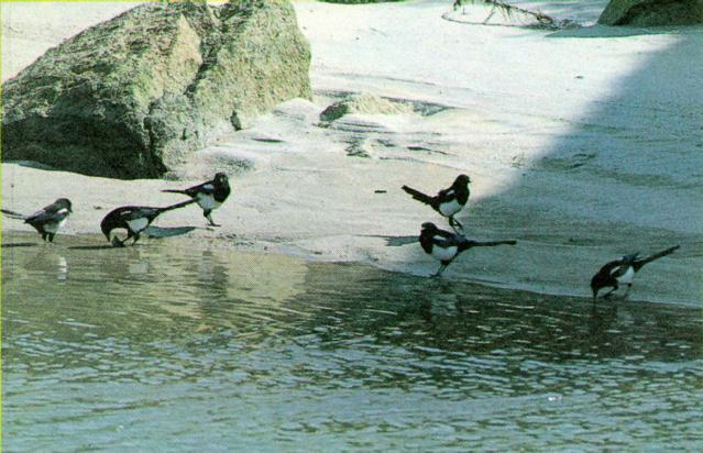 Korean Bird: Black-billed Magpie J08 - Summer - flock on water bank; Image ONLY