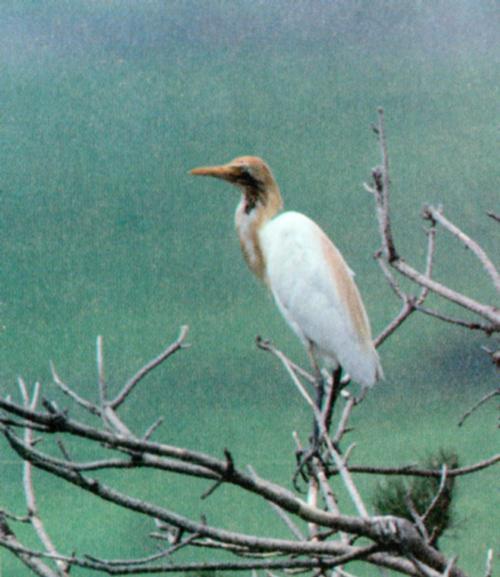 Korean Bird: Cattle Egret J01-Perching on tree