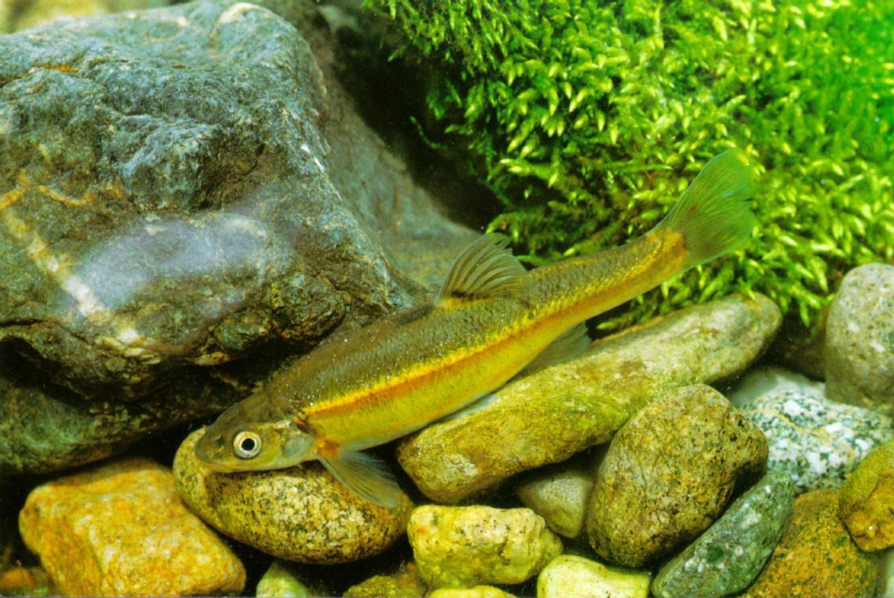 Freshwater fish korea - Koreanfreshwaterfish Kumgang Minnow J02 Closeup Jpg