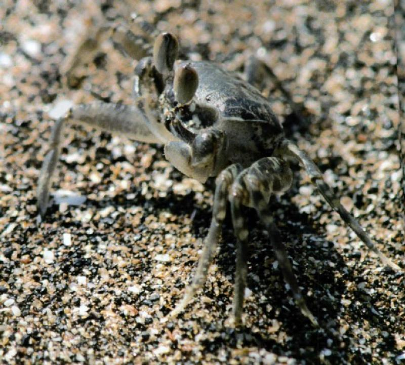 Korean Ghost Crab J01 - Hiding itself into sand 1; DISPLAY FULL IMAGE.