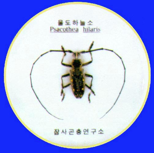 Korean Insect: Yellow-spotted Long-horned Beetle J03-specimen - Psacothea hilaris - 울도하늘소; Image ONLY