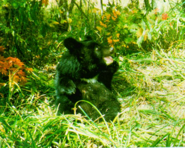 Korean Mammal: Manchurian Black Bear J01 - Young in forest (어린 반달곰); Image ONLY