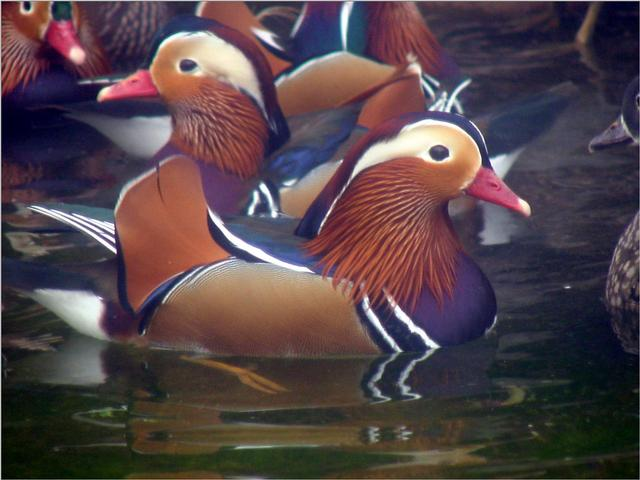Mandarin Ducks (1/20) -- 원앙; Image ONLY