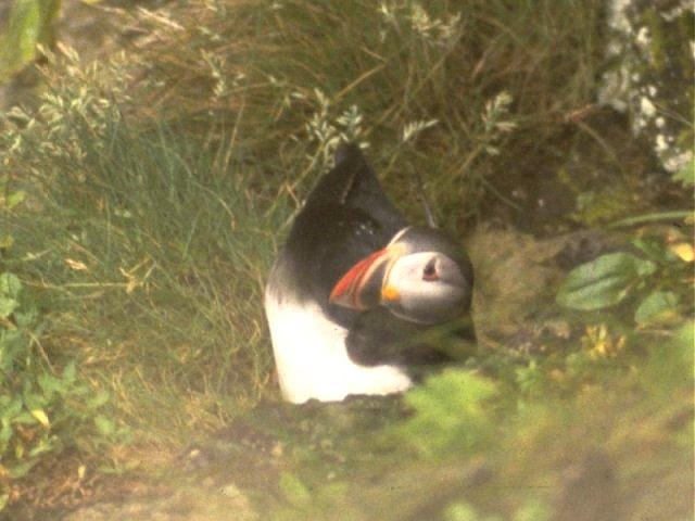 Re: Wanted: Puffin Pictures - puffin3.jpg; Image ONLY